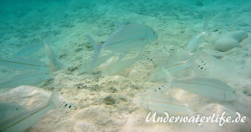 Mittelstreifen- Barbe (Upeneus tragula)_adult-Malediven-2013-08