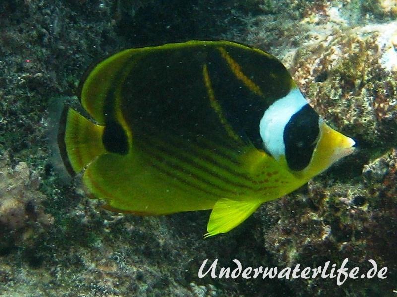 Mondsichel-Falterfisch_adult-Malediven-2013-01