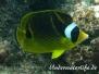 Mondsichel-Falterfisch (Chaetodon lunula)