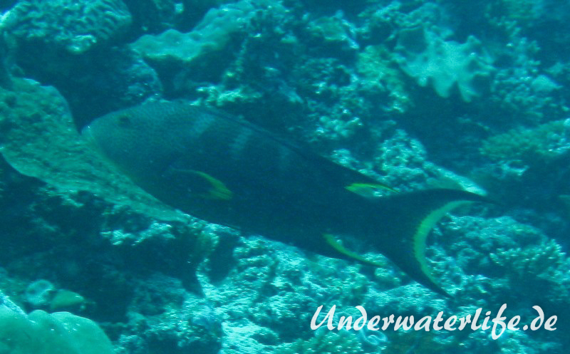Mondsichel-Juvelenbarsch_adult-Malediven-2013-01