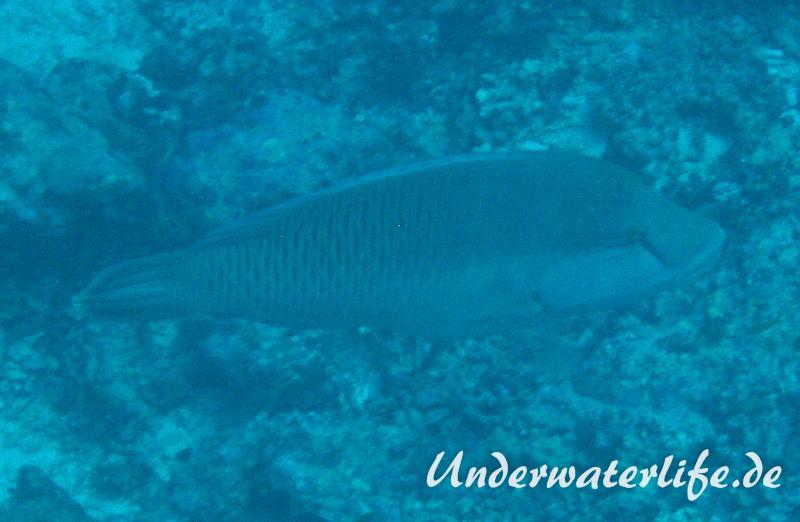 Napoleon_adult-Malediven-2013-01