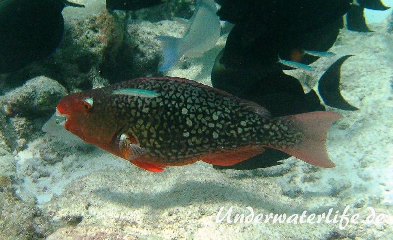 Nasenhoecker-Papageifisch_adult-Malediven-2013-02