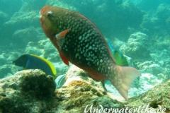 Nasenhoecker-Papageifisch_adult-Malediven-2013-01