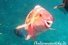 Nasenhoecker-Papageifisch_adult-Malediven-2013-03