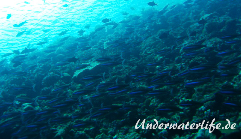 Neon-Fuesilier_adult-Malediven-2013-04