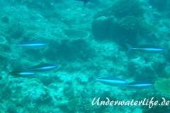Neon-Fuesilier_adult-Malediven-2013-02