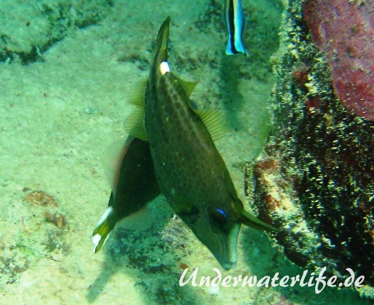 Netz-Feilenfisch_adult-Malediven-2013-01