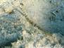 Netz-Seenadel (Corythoichtys flavofasciatus)