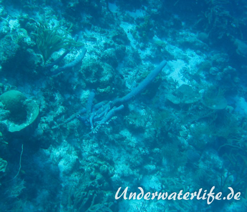 Ofenrohrschwamm_adult-Karibik-2014-003