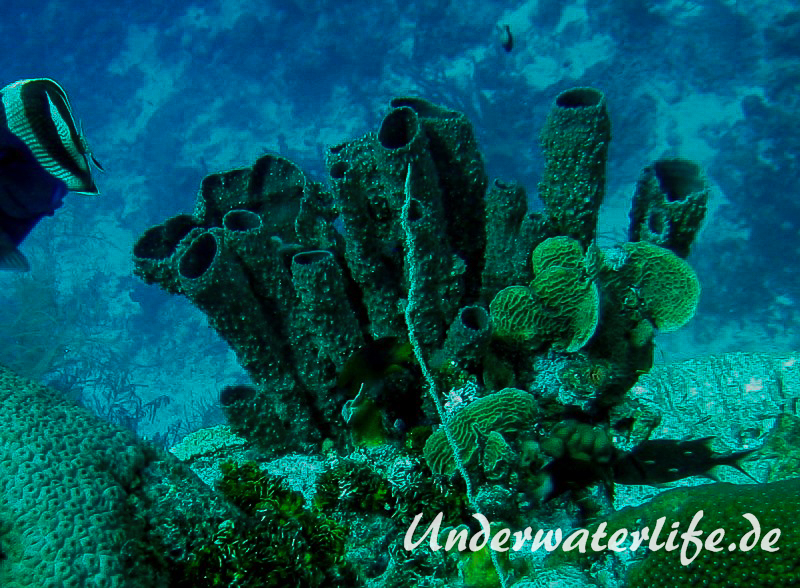 Ofenrohrschwamm_adult-Karibik-2014-006