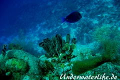 Ofenrohrschwamm_adult-Karibik-2014-007