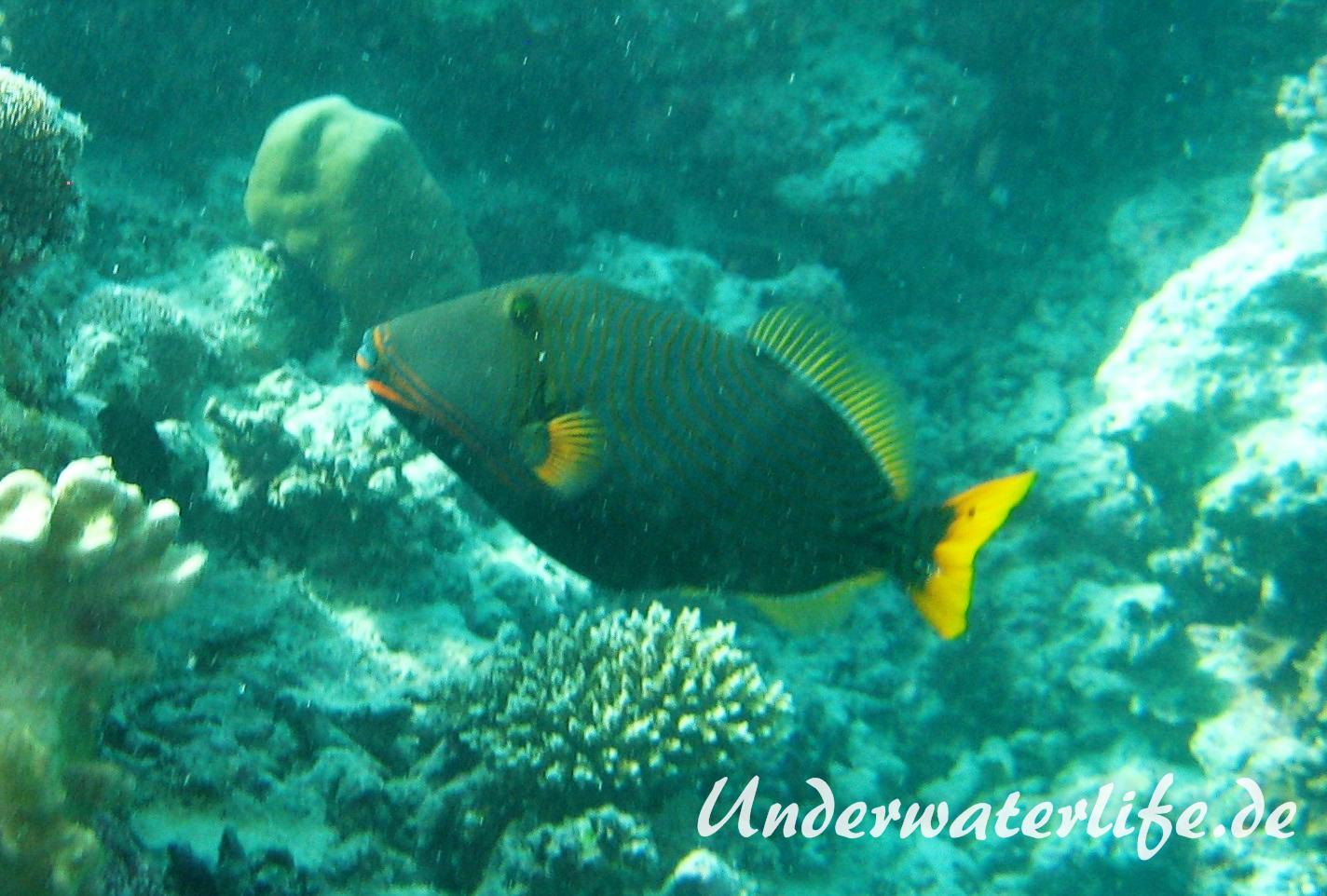 Orangestreifen-Drueckerfisch_adult-Malediven-2013-01