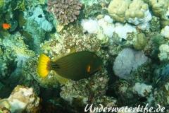 Orangestreifen-Drueckerfisch_adult-Marsa alam-2012-1