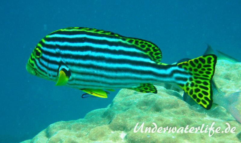 Orient-Suesslippen_adult-Malediven-2013-001