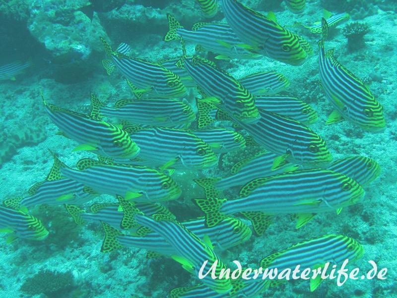 Orient-Suesslippen_adult-Malediven-2013-003