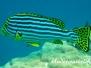 Orient-Süßlippe (Plectorhinchus vittatus)