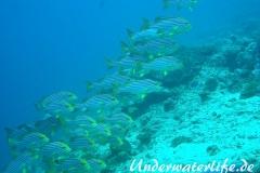 Orient-Suesslippen_adult-Malediven-2013-004