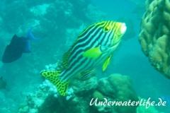Orient-Suesslippen_adult-Malediven-2013-005