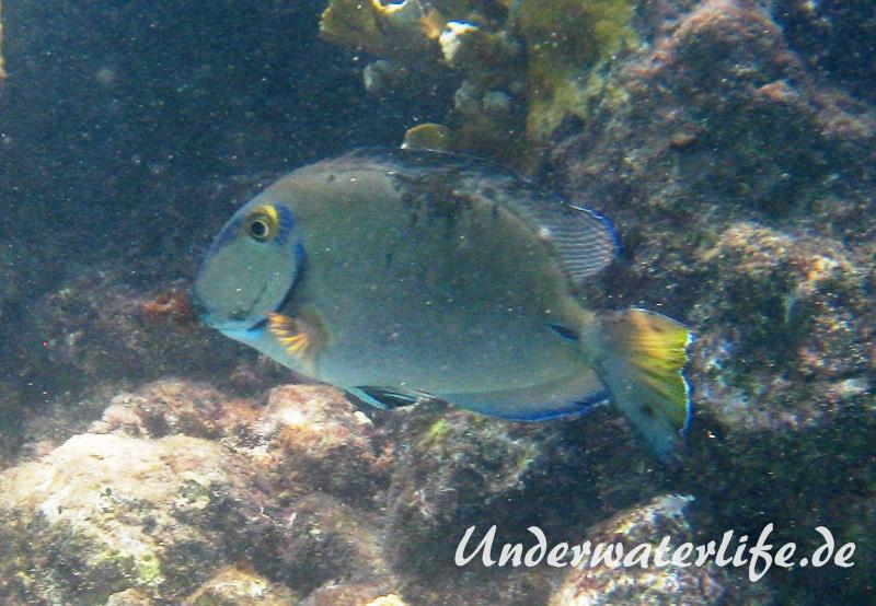 Ozean Doktorfisch_adult-Karibik-2014-001