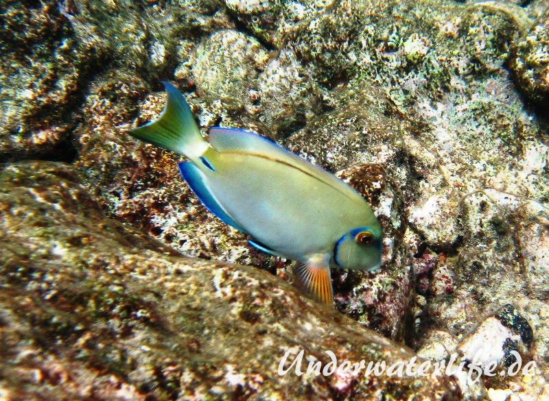 Ozean Doktorfisch_adult-Karibik-2014-003