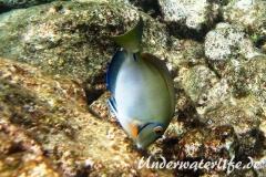 Ozean Doktorfisch_adult-Karibik-2014-002