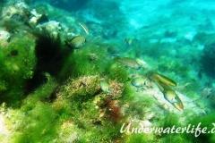 Ozean Doktorfisch_juvenil-Karibik-2014-001