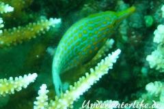 Palettenstachler_adult-Malediven-2013-01