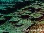 Pazifischer Trompetenfisch (Aulostomus chinensis)