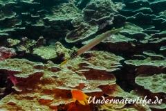 Pazifischer Trompetenfisch_adult-Thailand-2017-003