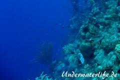 Peitschengorgonie_adult-Karibik-2014-001