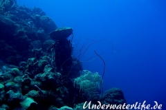 Peitschengorgonie_adult-Karibik-2014-002