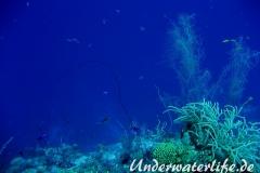 Peitschengorgonie_adult-Karibik-2014-003