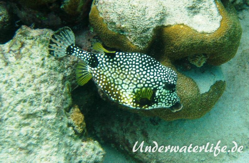 Perlenkofferfisch_adult-Karibik-2014-001