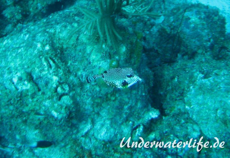 Perlenkofferfisch_adult-Karibik-2014-002