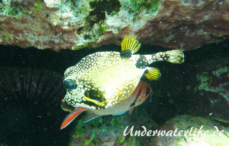 Perlenkofferfisch_adult-Karibik-2014-005