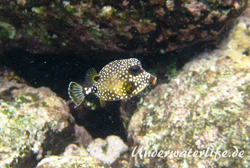 Perlenkofferfisch_juvenil-Karibik-2014-001