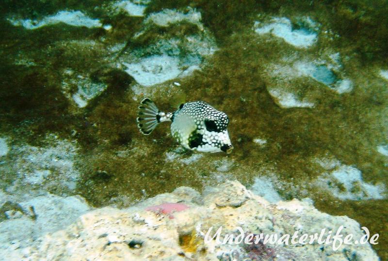 Perlenkofferfisch_juvenil-Karibik-2014-003