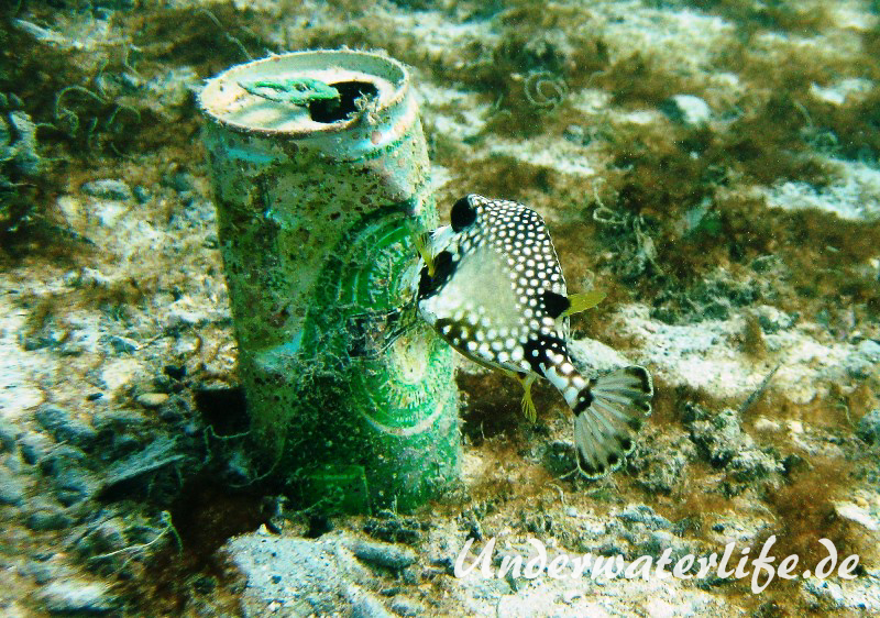 Perlenkofferfisch_juvenil-Karibik-2014-005