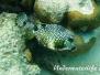 Perlenkofferfisch (Rhinesomus triqueter)
