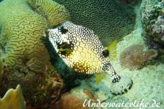 Perlenkofferfisch_adult-Karibik-2014-003