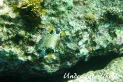 Perlenkofferfisch_adult-Karibik-2014-004