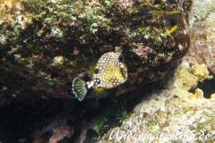 Perlenkofferfisch_juvenil-Karibik-2014-002