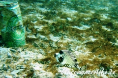 Perlenkofferfisch_juvenil-Karibik-2014-004