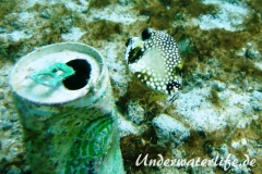 Perlenkofferfisch_juvenil-Karibik-2014-006