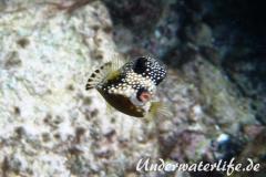 Perlenkofferfisch_juvenil-Karibik-2014-007