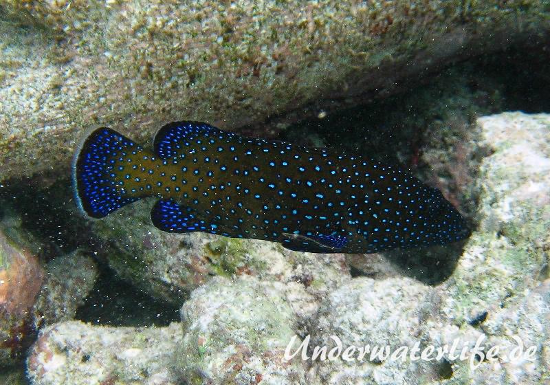 Pfauen-Zackenbarsch_adult-Malediven-2013-04