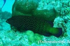 Pfauen-Zackenbarsch_adult-Malediven-2013-01