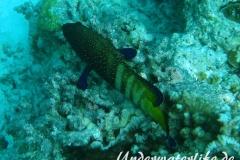 Pfauen-Zackenbarsch_adult-Malediven-2013-03