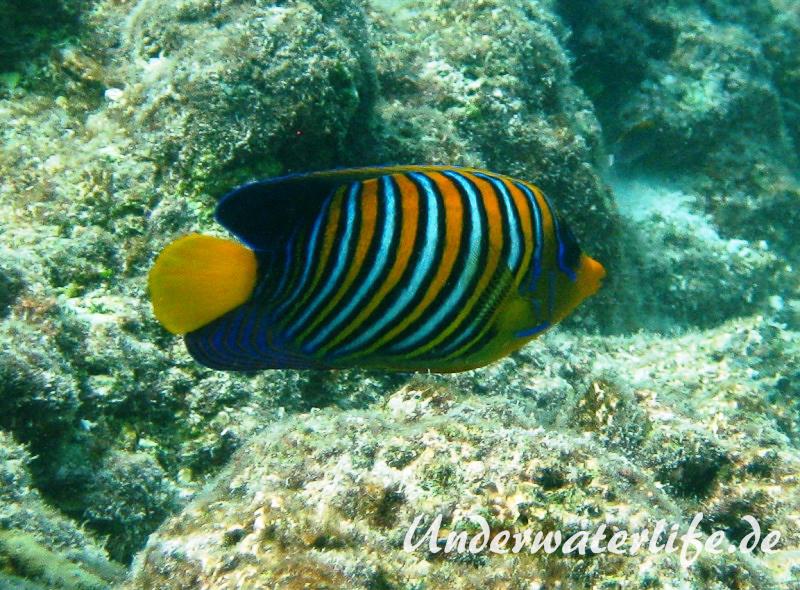 Pfauenaugen-Kaiserfisch_adult-Malediven-2013-01