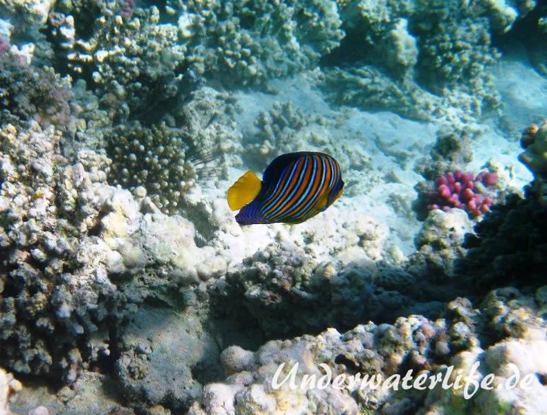 Pfauenaugen-Kaiserfisch_adult-Marsa alam-2012-2